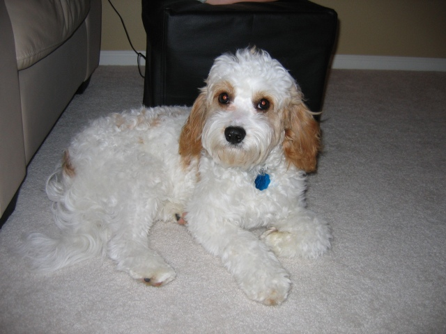 Image result for adult cavachons