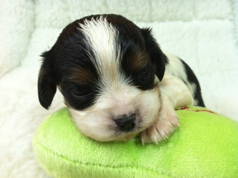 Category Archives: Cavalier King Charles Spaniel