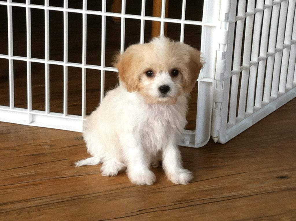Cavachon Puppy Cut | southern paws bichons bichon frise