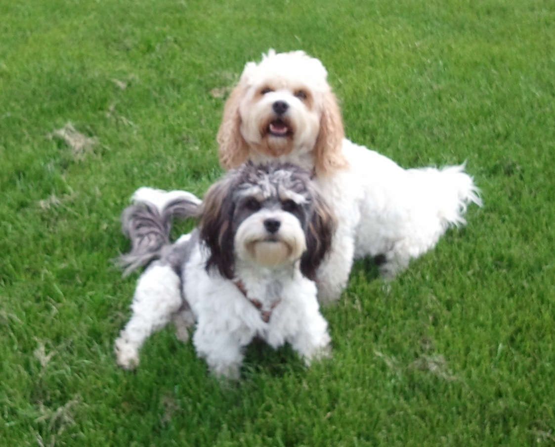 Adults | SILVER PAW CAVACHONS