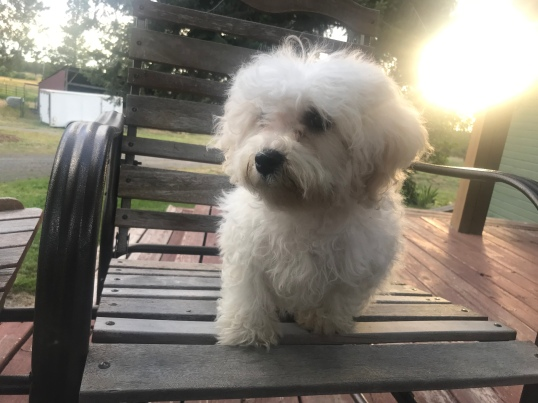 SILVER PAW CAVACHONS | Quality Cavachon Puppies