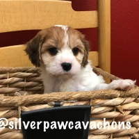 Available Jesse Puppies