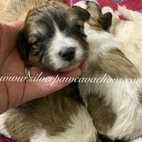 Scarlett Puppy Selection Form